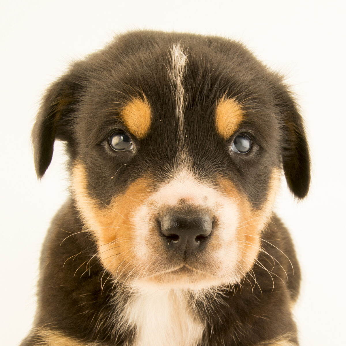 Dog Hip Dysplasia Symptoms