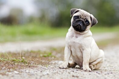 Symptoms similar to Down syndrome in Pugs
